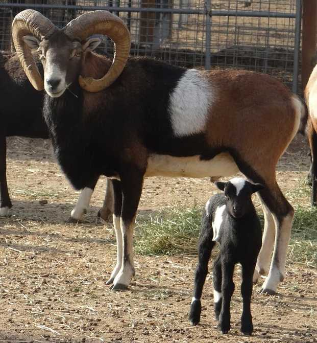 Our Painted Desert Sheep - Blank Title